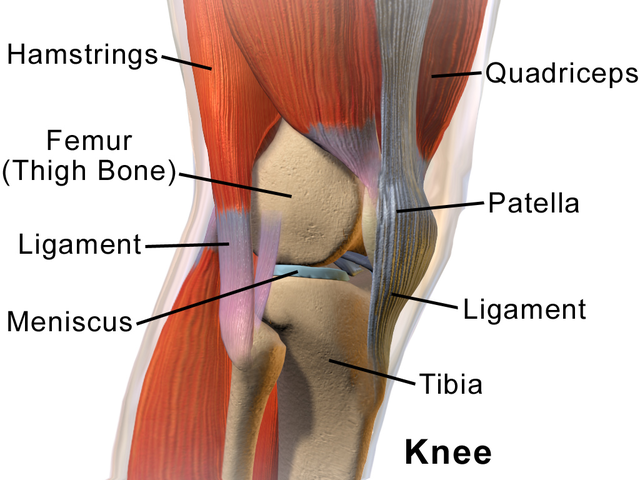 The Muscles and Bones of the Knee.