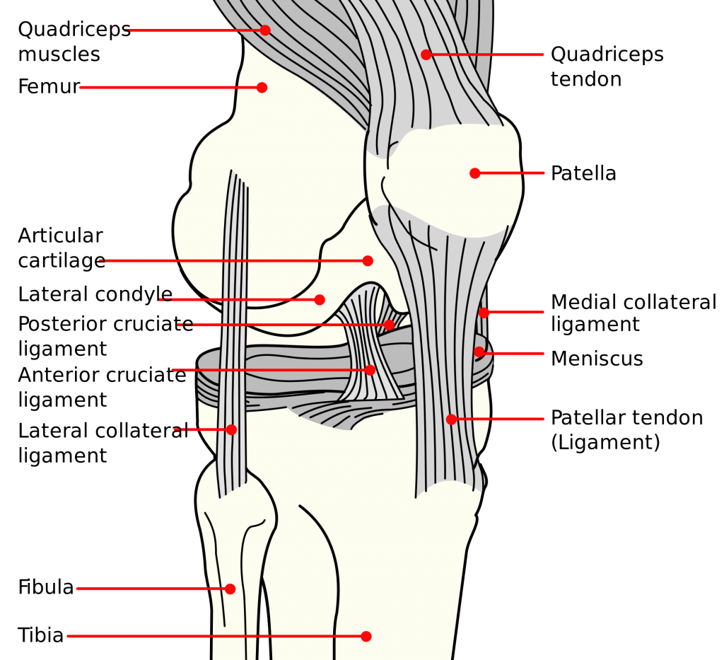 Diagram of the Knee Structure. Showing: the ligaments, bones, cartilage and meniscus.