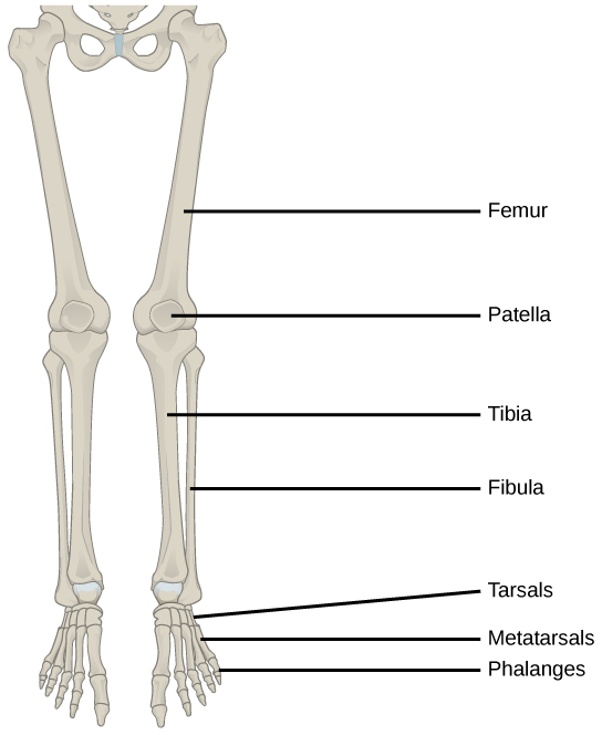 Anatomy Of Leg Bones Gallery Human Anatomy Organs Diagram