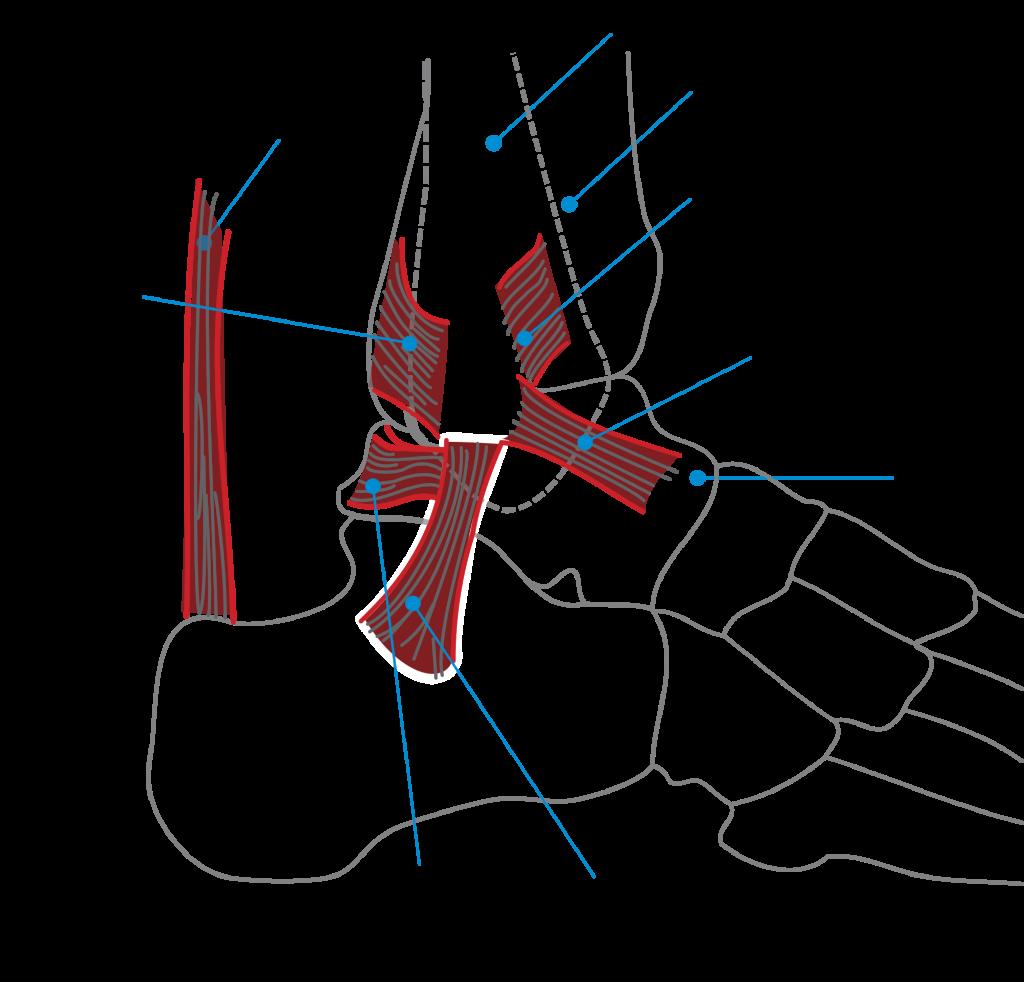 Achilles tendon