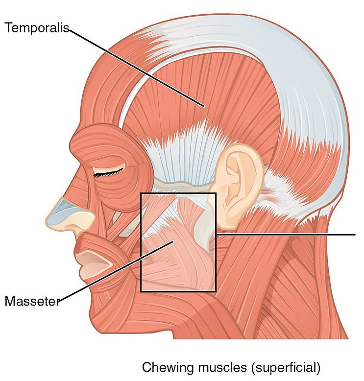 What Muscles Make Up Your Face Head And Neck