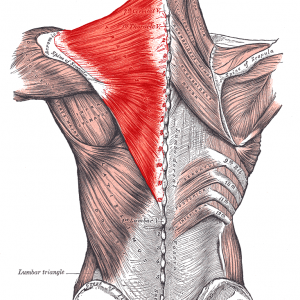 Pain in the neck? The muscles of the Head, Face and Neck.